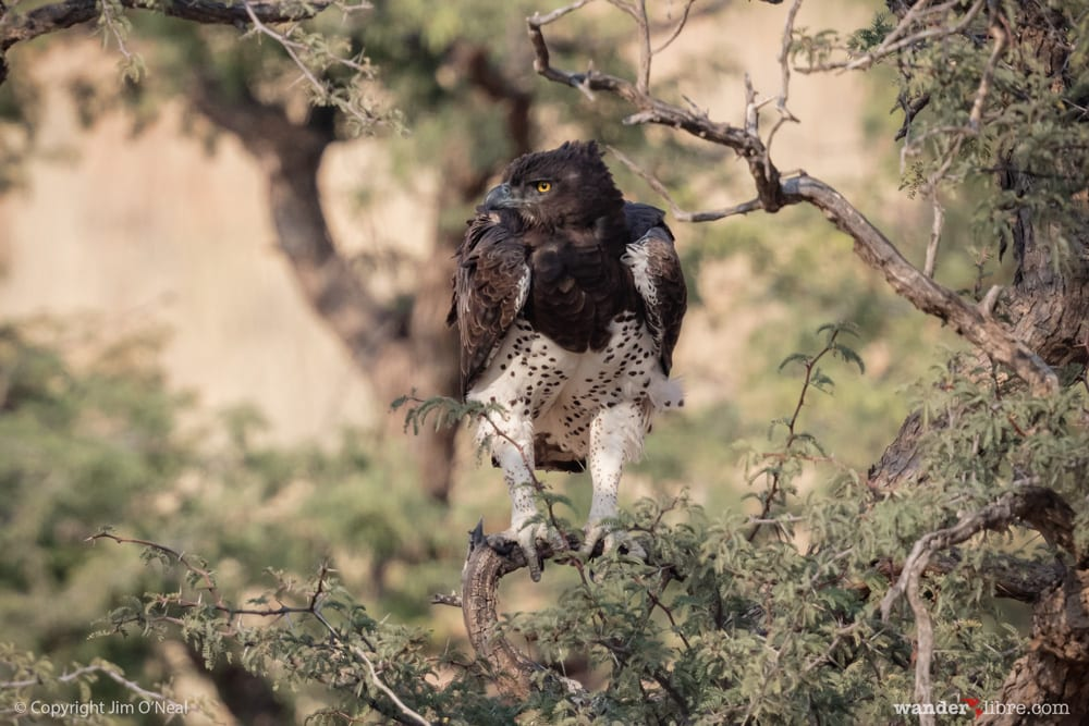 A martial eagle searching for prey in Kgalagadi Transfrontier Park, South Africa