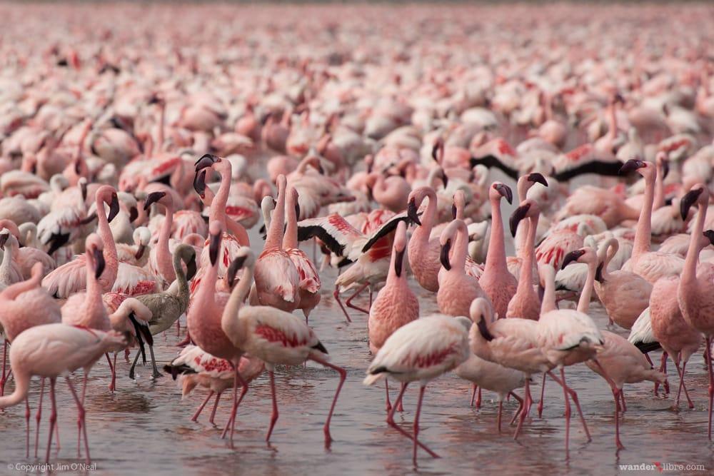 Hundreds of Flamingoes in Lake Nakuru, Kenya