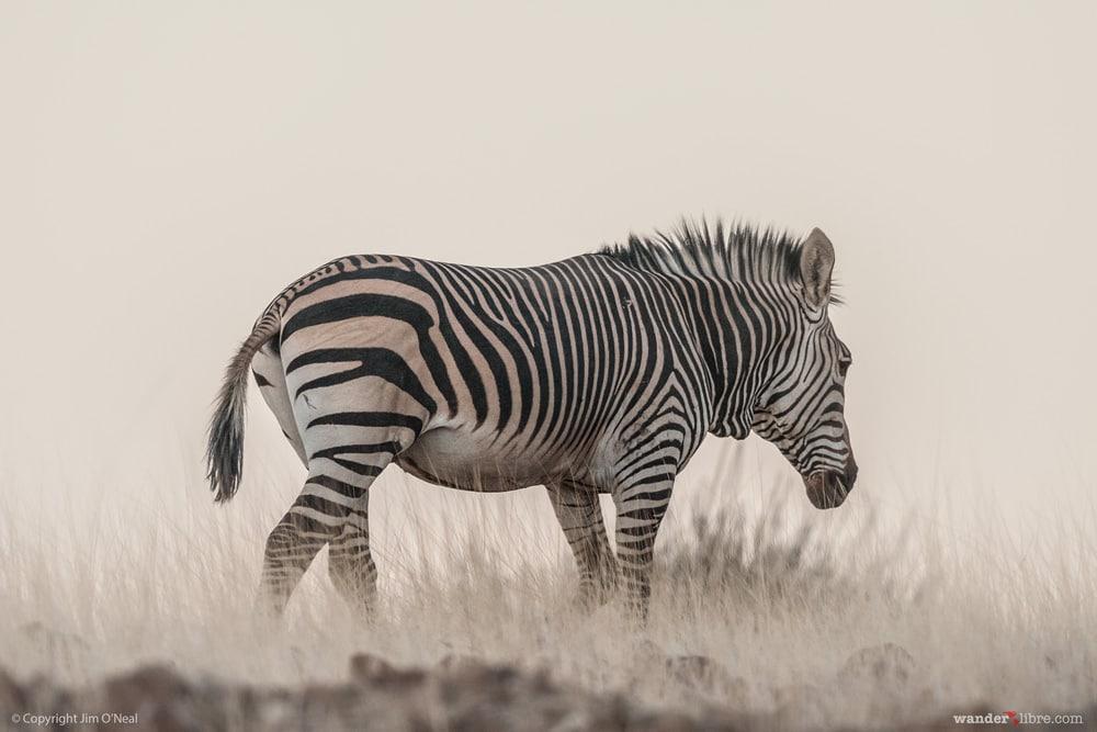 Hartmann's Mountain Zebra Crosses the Arid Landscape in Western Namibia