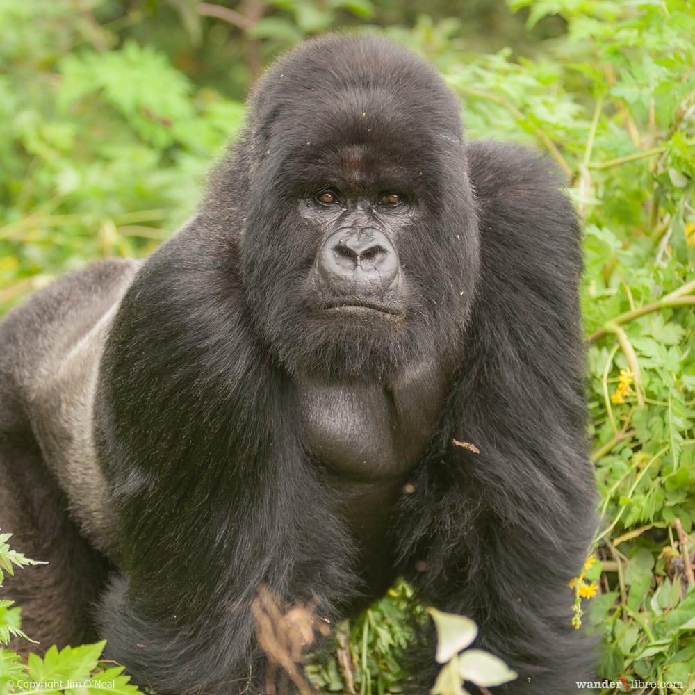 Safari Adventure in Volcanoes National Park with Silverback Mountain Gorilla