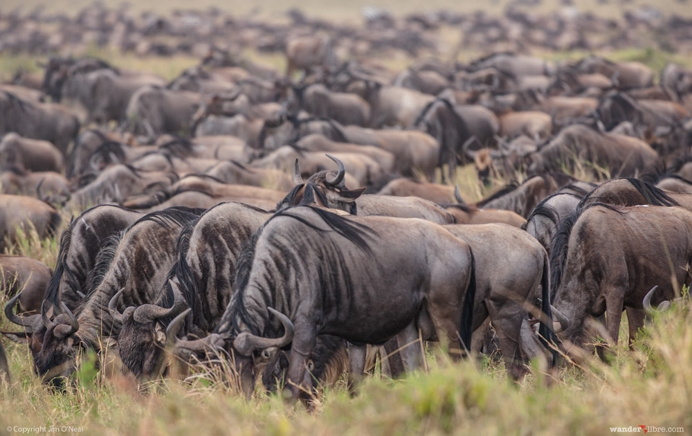 Wildebeest in Maasai Mara, Kenya