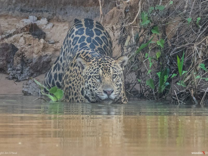 Brazil's Pantanal: The Best Place to See Jaguars in the Wild
